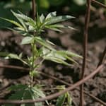 outdoor cannabis plant